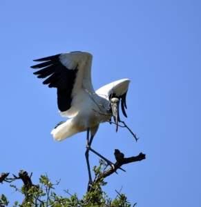 wood stork stork bird nature